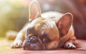 Jak chronić psa przed upałami?