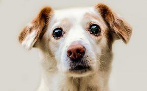 Przewlekła niewydolność nerek u psów